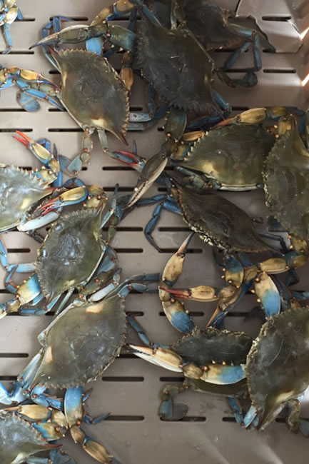 gal_blue_crabs.jpg